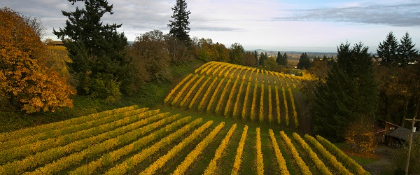 Eyrie Vineyards - Oregon vineyards show their fall colors after harvest in 2012.